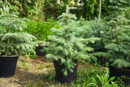 Blue spruce tree in greenhouse. Gardening and planting 스톡 콘텐츠