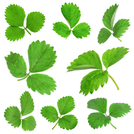 Set of green strawberry leaves on white background 免版税图像