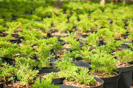 Thuja trees in pots, closeup. Planting and gardening