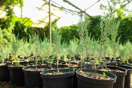 Potted thuja trees in greenhouse. Planting and gardening