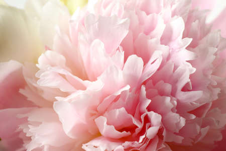 Beautiful blooming pink peony as background, closeup