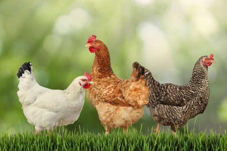 Beautiful chickens on fresh green grass outdoors
