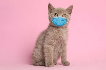 Scottish straight baby cat in medical mask on pink background. Virus protection for animal