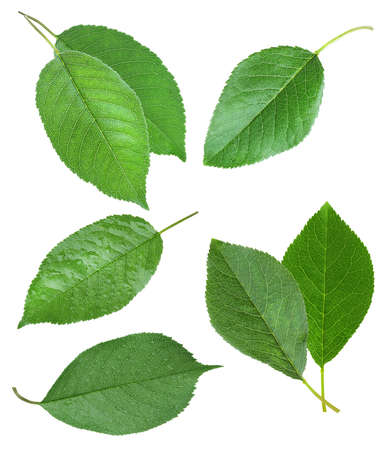 Set of green cherry leaves on white background