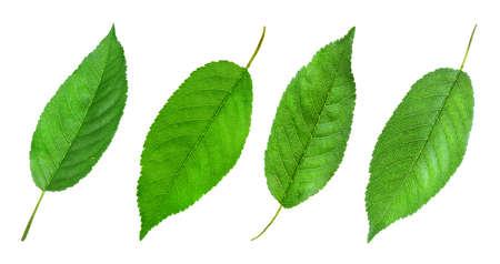Set of green cherry leaves on white background. Banner design