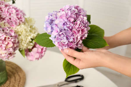 Woman holding beautiful hydrangea flower indoors, closeup. Interior design element
