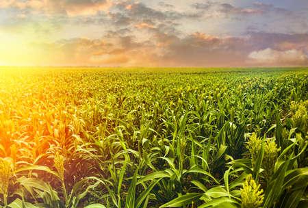 Sunlit corn field under beautiful sky with clouds