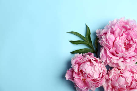 Beautiful peonies on light blue background, flat lay. Space for text