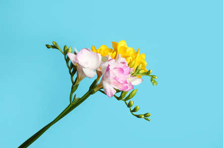 Beautiful blooming freesias on light blue background