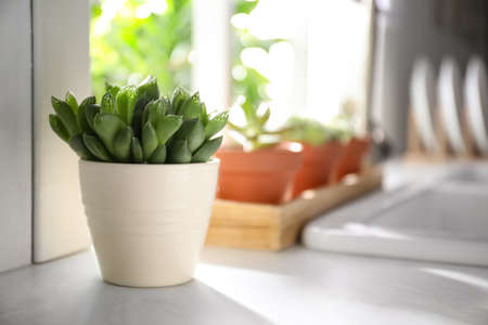 Beautiful echeveria on kitchen counter indoors, space for text. Succulent plant Stock Photo