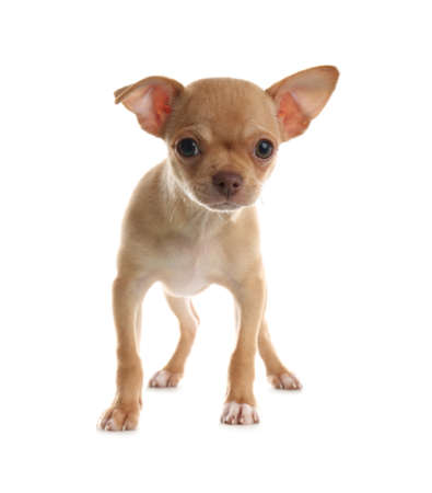 Cute Chihuahua puppy on white background. Baby animal