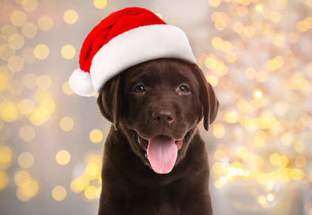 Chocolate Labrador Retriever puppy with Santa hat and blurred Christmas lights on background. Lovely dog