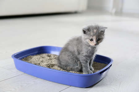 Cute British Shorthair kitten in litter box at home Standard-Bild