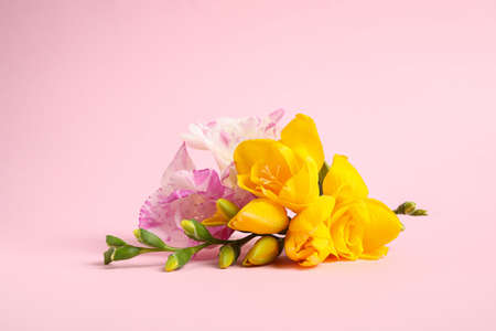 Beautiful blooming freesia flowers on pink background