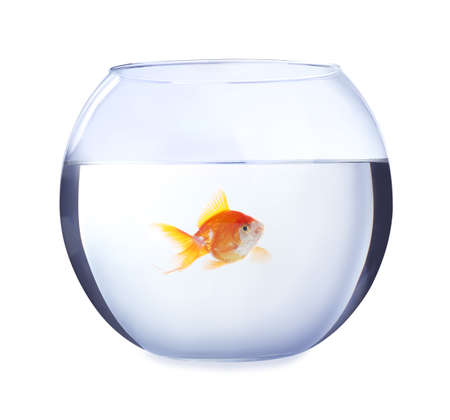 Beautiful bright small goldfish in round glass aquarium isolated on white