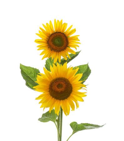 Beautiful bright blooming sunflowers on white background Stock Photo