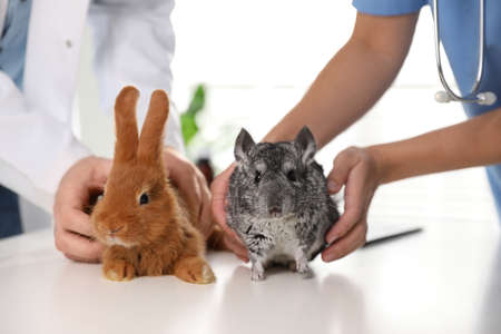Professional veterinarians examining bunny and chinchilla in clinic, closeup Stock Photo