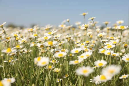 Closeup view of beautiful chamomile field on sunny day