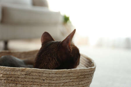 Beautiful Abyssinian cat in basket indoors. Lovely pet