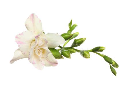 Beautiful bright freesia flowers on white background