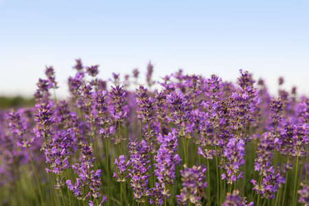 Beautiful blooming lavender field on summer day, closeup