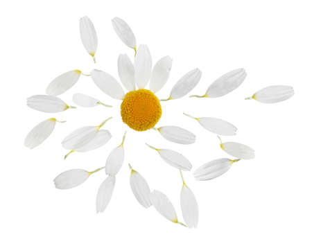Chamomile flower with flying petals on white background