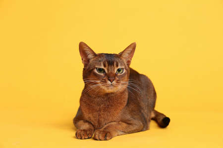 Beautiful Abyssinian cat on yellow background. Lovely pet