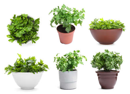 Set with potted parsley plants on white background Stock Photo