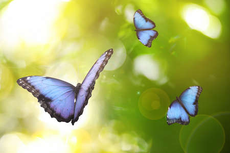 Beautiful common morpho butterflies flying in green garden Zdjęcie Seryjne
