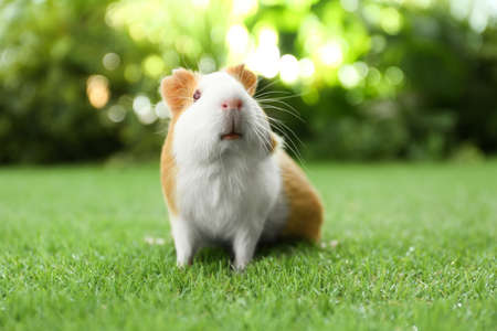 Cute guinea pig on green grass in park