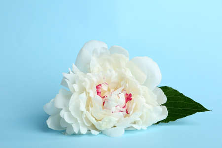 Beautiful white peony flower on light blue background
