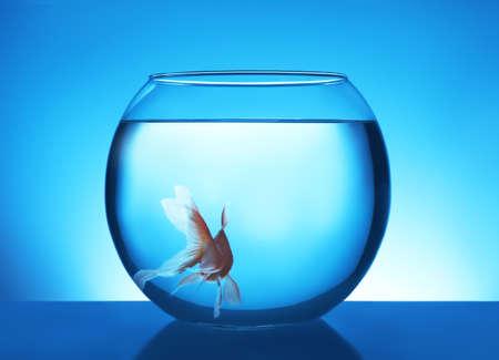 Beautiful bright small goldfish swimming in round glass aquarium on blue background