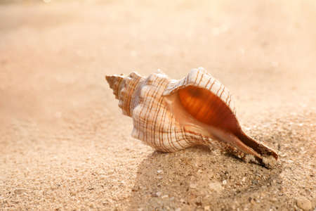 Beautiful exotic sea shell on sandy beach
