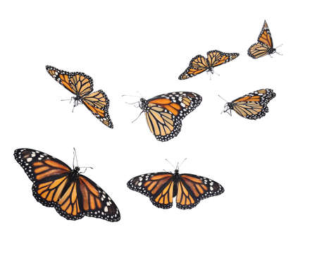 Amazing monarch butterflies flying on white background