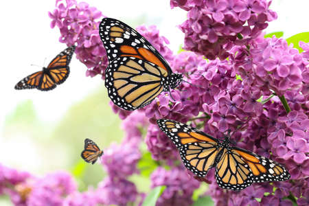 Amazing monarch butterflies in lilac garden, closeup