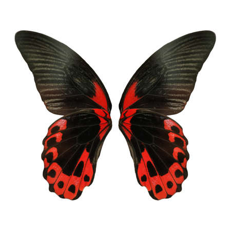 Beautiful scarlet Mormon butterfly wings on white background