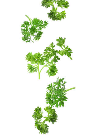 Fresh green curly parsley falling on white background