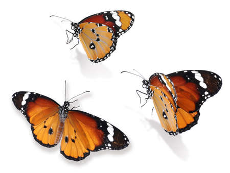 Set of beautiful plain tiger butterflies on white background Imagens