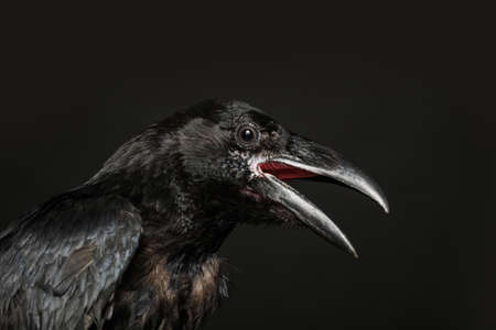 Beautiful common raven on dark background, closeup 写真素材