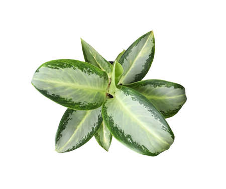 Beautiful Aglaonema plant isolated on white, top view. House decor Stock Photo