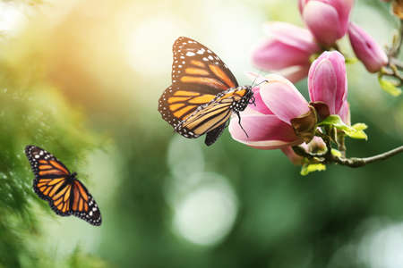 Beautiful blossoming magnolia tree and amazing monarch butterflies in garden, closeup