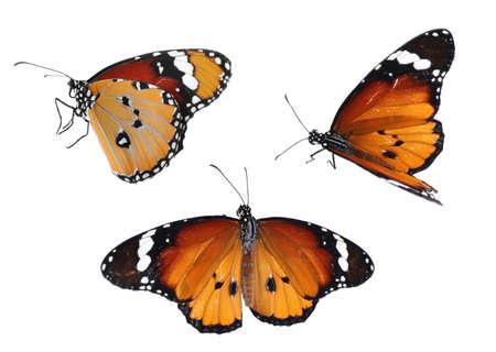 Set of beautiful plain tiger butterflies on white background Zdjęcie Seryjne