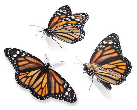 Set of beautiful monarch butterflies on white background