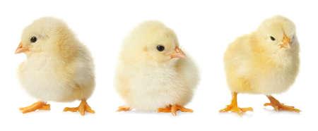 Three cute fluffy chickens on white background. Farm animals 版權商用圖片