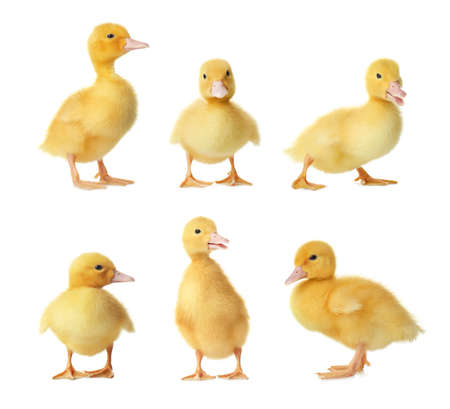 Collage with cute fluffy ducklings on white background. Farm animals Stock Photo