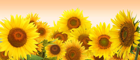 Many bright sunflowers on pale orange background. Banner design Reklamní fotografie