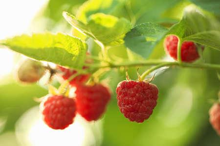 Raspberry bush with tasty ripe berries in garden, closeup