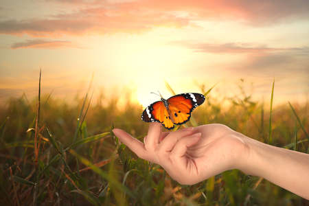 Woman with beautiful plain tiger butterfly in field at sunset, closeup