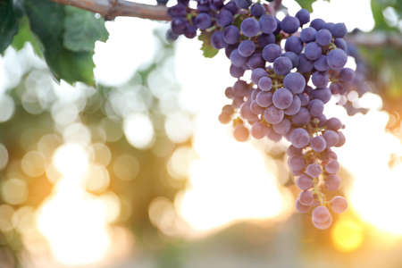 Bunch of ripe juicy grapes on branch in vineyard. Space for text Stock Photo