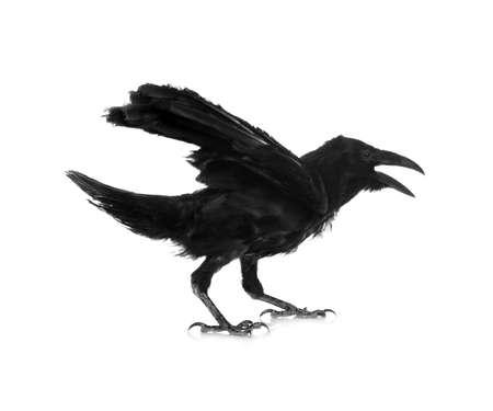 Beautiful black common raven on white background Foto de archivo
